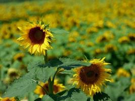 Feld der Sonnenblumen
