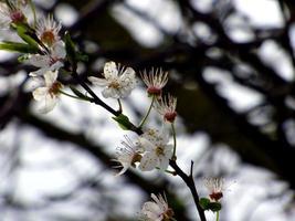 weiße Blüten auf einem Baum foto