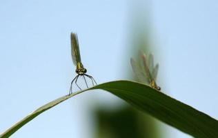 Libelle auf grüner Klinge foto