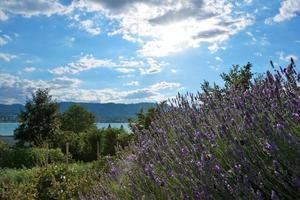 Lavendel im Sonnenlicht