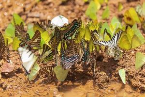 Nahaufnahme von Schmetterlingen im Schlamm