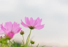 rosa Kosmosblumen im Feld.