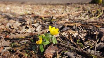 Frühlingsblumen blühen foto