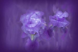 Irispflanze mit Tau