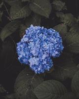 blaue Hortensienblume
