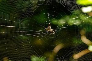 braune Spinne auf Spinnennetz