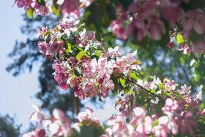 blühende Blumen eines Baumes