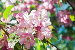 Nahaufnahme der Kirschblüte