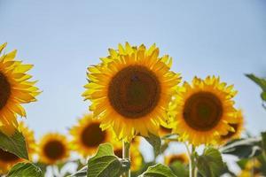 Nahaufnahme des Sonnenblumenfeldes foto