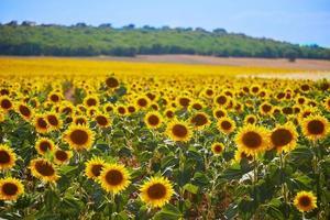 helles Sonnenblumenfeld foto