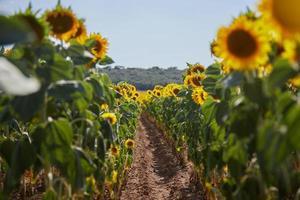 Feldweg in einem Sonnenblumenfeld foto