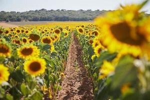 Weg durch ein Sonnenblumenfeld foto