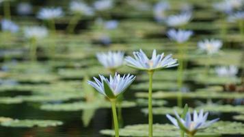 Blick auf einen Seerosenteich mit blauen Blumen