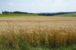 Sommerlandschaft mit Weizenfeld