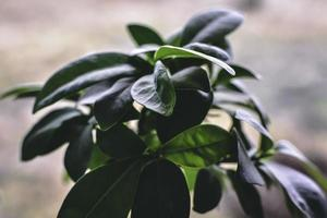 grüne Ficuspflanze