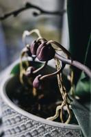 Nahaufnahme der Orchideenpflanze
