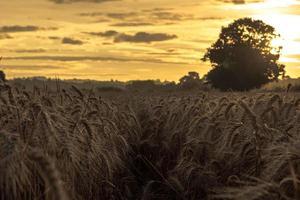 hohes Gras während der goldenen Stunde foto