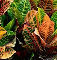 bunte Croton Pflanze foto
