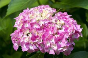 Nahaufnahme einer rosa Hortensie