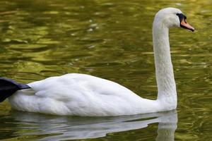 weißer Schwan schwimmt