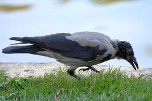 Krähe pickt auf Gras