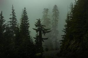 Kiefern in einem dunklen nebligen Wald