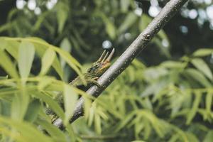 grüne Eidechse, die auf einem Ast klettert foto