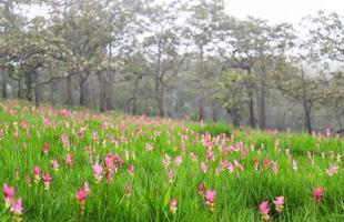Siam-Tulpen blühen im Regenwald