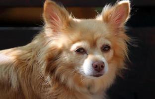 Nahaufnahme brauner Hund