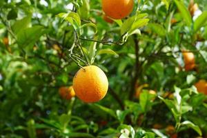 Mandarinenbaum im Park foto