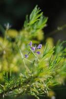 kleine einzelne Lavendelblüte