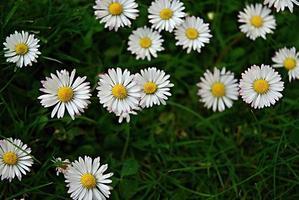 Nahaufnahme von Gänseblümchenblumen foto