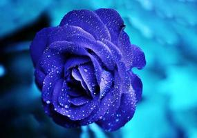 blaue Rosenblume