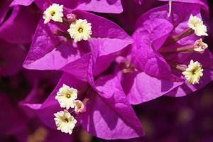 rosa Bougainvillea im Sommer