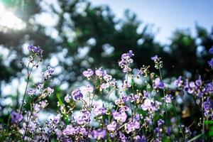 Haubenschlange lila Blüten