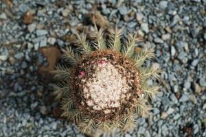 Kaktus auf kleinen Steinen foto