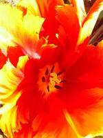 Nahaufnahme einer Tulpe foto