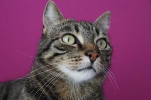 Katzenporträt auf violettem Hintergrund
