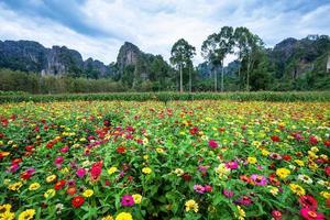 Feld der bunten Zinnia Blumen foto