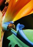 Honigbiene auf Paradiesvogel