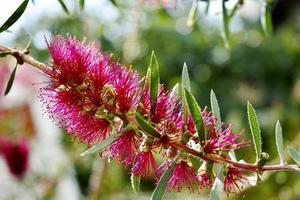 Magenta blühende Blume foto