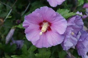 Hibiskus im Sommer