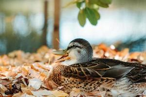 Ente sitzt in Blättern