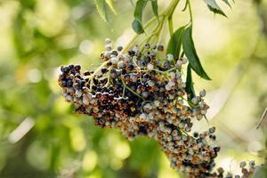 Beeren auf Zweig