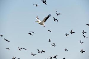 Pelikan und Möwen im Flug foto