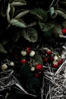 Erdbeeren wachsen auf einem Busch foto