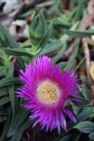 lila Blume in einem Garten