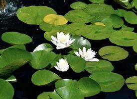 Seerosen auf dem Teich