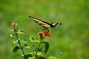 Schwalbenschwanzschmetterling auf einer Blume foto
