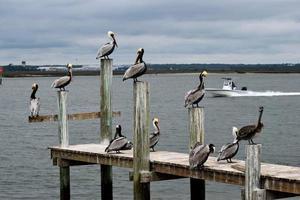 braune Pelikane auf einem hölzernen Pier